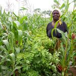 Cultures                                                intercalaires de maïs et                                                de Gliricidia sepium en                                                Zambie © CIMMYT, C.                                                Thierfleder
