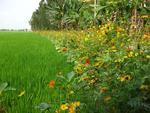 Plantations de riz et                                                bandes fleuries dans la                                                Province de Hau Giang au                                                Vietnam © Nguyen Thi Thanh                                                Thuy, Plant Protection                                                Department